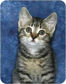 Domestic Shorthair Kitten for adoption in Ladysmith, Wisconsin - C6412