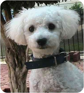 Bichon Frise Puppy for adoption in Poway, California - Sunny
