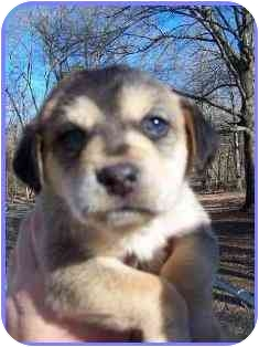 Shepherd (Unknown Type) Mix Puppy for adoption in Arlington, Virginia - Sweet Juliet