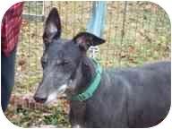 Greyhound Dog for adoption in Gerrardstown, West Virginia - Missy