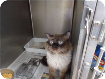 Domestic Mediumhair Cat for adoption in Turlock, California - 0421-1125