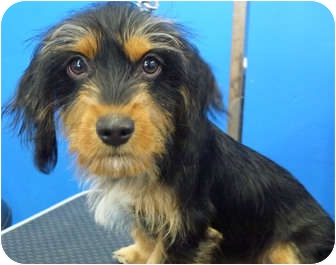 Dachshund Puppy for adoption in Los Angeles, California - Smitty
