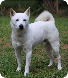 Shiba Inu Mix Dog for adoption in Houston, Texas - Lamb