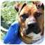 Photo 2 - American Staffordshire Terrier/Pit Bull Terrier Mix Dog for adoption in Toledo, Ohio - Penelope