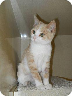 Domestic Shorthair Kitten for adoption in Morden, Manitoba - Quinn