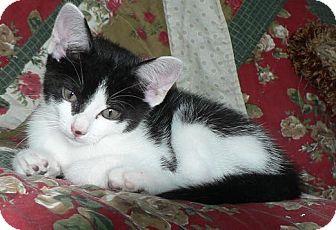 Domestic Shorthair Kitten for adoption in Hendersonville, Tennessee - Joey