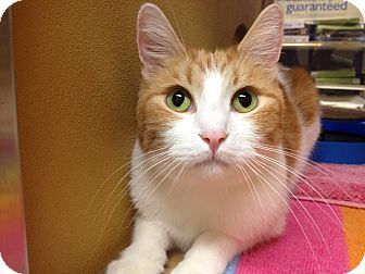 Domestic Shorthair Cat for adoption in Foothill Ranch, California - Ricky