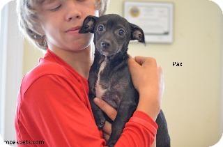 Chihuahua/Dachshund Mix Puppy for adoption in Danielsville, Georgia - Pax