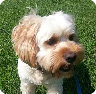 Cockapoo Mix Dog for adoption in Spring Valley, New York - Crosby