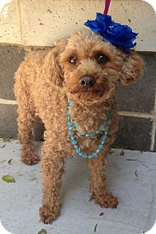 Miniature Poodle Dog for adoption in Dublin, California - Fiona