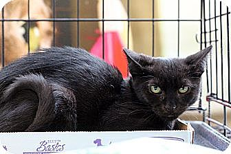 Domestic Shorthair Cat for adoption in New York, New York - Sparkie