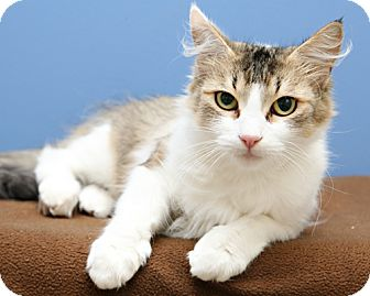 Domestic Shorthair Cat for adoption in Bellingham, Washington - Shae