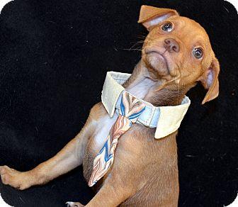 Chihuahua Mix Puppy for adoption in Bridgeton, Missouri - Rummy-Adoption pending