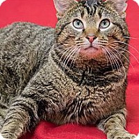 Adopt A Pet :: Kitzer - Chicago, IL