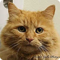 Domestic Longhair Cat for adoption in Saranac Lake, New York - Julie