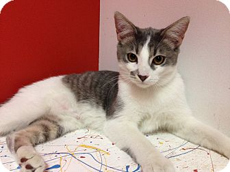 Domestic Shorthair Cat for adoption in Topeka, Kansas - Raleigh