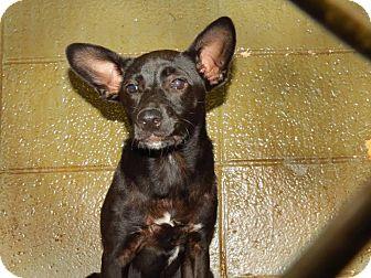 Labrador Retriever/Terrier (Unknown Type, Small) Mix Puppy for adoption in Henderson, North Carolina - Bentley