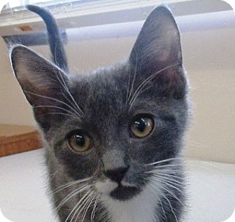 Domestic Shorthair Kitten for adoption in Lloydminster, Alberta - AC