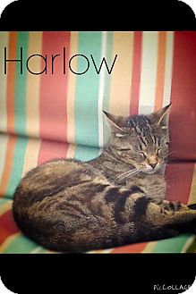 American Shorthair Cat for adoption in Mansfield, Texas - Harlow