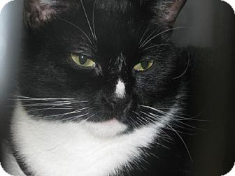 Domestic Shorthair Cat for adoption in Voorhees, New Jersey - Louise