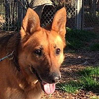 German Shepherd Dog Dog for adoption in Dripping Springs, Texas - Mandy