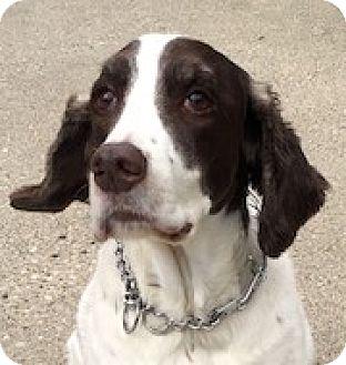English Springer Spaniel Dog for adoption in Minneapolis, Minnesota - Mindy