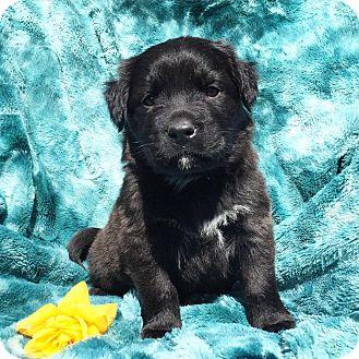 Labrador Retriever/American Staffordshire Terrier Mix Puppy for adoption in santa monica, California - Rigatoni