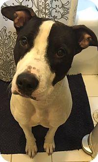 Pit Bull Terrier/Bull Terrier Mix Dog for adoption in Huntington, New York - Asha