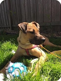 German Shepherd Dog Mix Puppy for adoption in St. Paul, Minnesota - Sadie