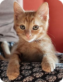 Domestic Shorthair Kitten for adoption in Brooklyn, New York - Cinnamon Bun
