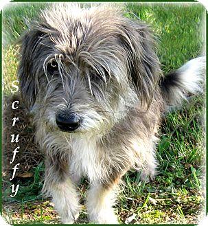 Shih Tzu/Lhasa Apso Mix Puppy for adoption in Marlborough, Massachusetts - Scruffy