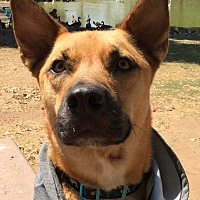 Akita/Shepherd (Unknown Type) Mix Dog for adoption in Santee, California - Scooby