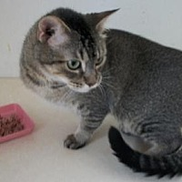 Domestic Shorthair Cat for adoption in Lacon, Illinois - Pandora