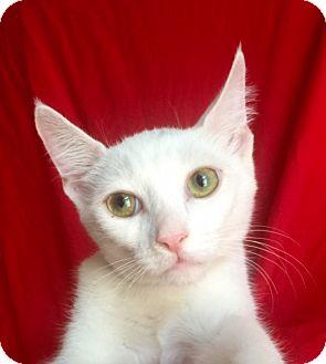 Domestic Shorthair Kitten for adoption in Irvine, California - DONATELLO