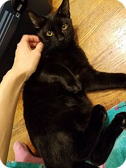 Domestic Shorthair Cat for adoption in Huntley, Illinois - Iggy