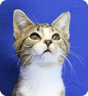 Domestic Shorthair Kitten for adoption in Winston-Salem, North Carolina - Blake