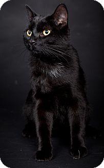 Domestic Shorthair Cat for adoption in Kingston, Ontario - Fitz