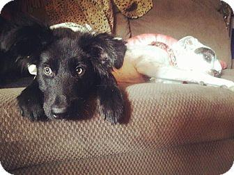 Labrador Retriever Mix Puppy for adoption in Mesa, Arizona - MURPHY 5 MO LAB MALE