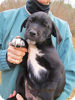 Labrador Retriever/Pointer Mix Puppy for adoption in Rutherfordton, North Carolina - SUTTER