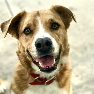 Australian Shepherd/Boxer Mix Dog for adoption in Santa Clarita, California - RED