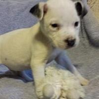 Adopt A Pet :: Owen - Olympia, WA