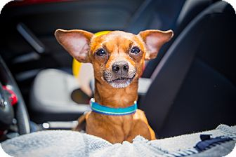 Chihuahua Mix Dog for adoption in Houston, Texas - Fidget