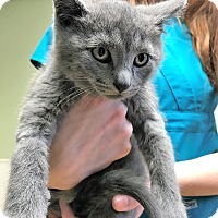 Adopt A Pet :: Bongo - Toledo, OH