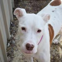 Adopt A Pet :: Daisy - Lafayette, IN
