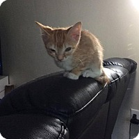 Adopt A Pet :: Ginger - Tampa, FL