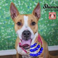 Adopt A Pet :: Shimmy - Lonely Heart - Gulfport, MS