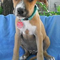 Adopt A Pet :: Bingo in TEXAS - Hagerstown, MD