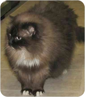 Ragdoll Cat for adoption in Keizer, Oregon - Misty