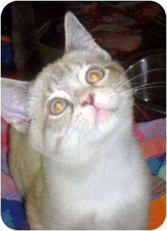 Siamese Kitten for adoption in Albany, Georgia - Peanut Butter