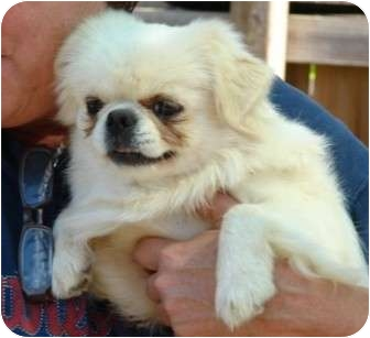 Pekingese Mix Dog for adoption in Afton, Tennessee - Carson